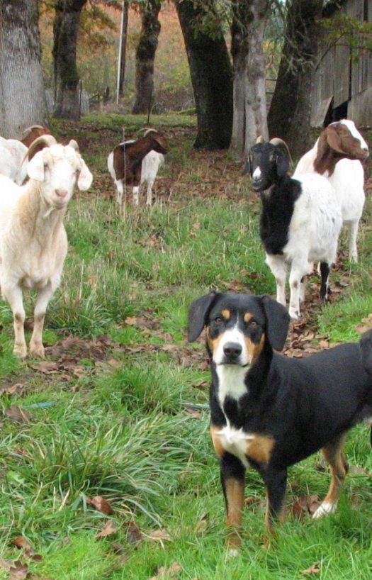 Goats at Stillpoint Farm - Eagleheart Entlebuchers