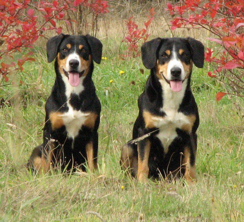 Entlebucher Mountain Dog Entlebucher Sennenhund